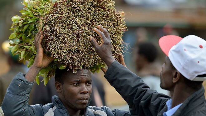 Somalia's Coronavirus Khat Bans Leaves Chewers in a Stew